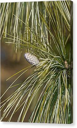 Pine Needles Canvas Print - Bhutan Pine (pinus Wallichiana) by Dr. Nick Kurzenko