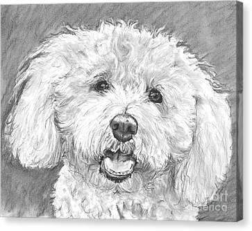 Bichon Frise With Long Hair Canvas Print by Kate Sumners