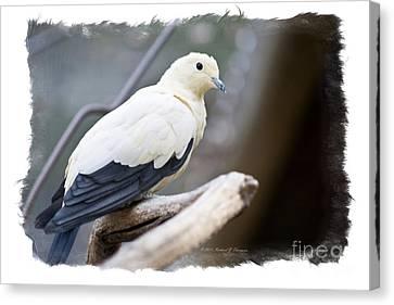 Bicolor Pigeon Canvas Print