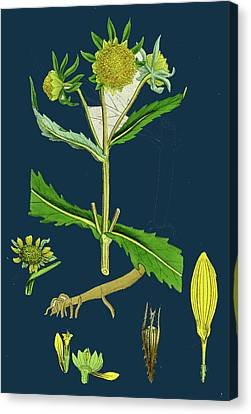 Bidens Cernus, Var. Genuina Nodding Bur-marygold Canvas Print by English School