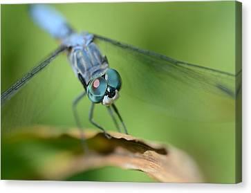 Dragonfly Eyes Canvas Print - Big Baby Blues by Fraida Gutovich