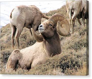 Big Bighorn Ram Canvas Print