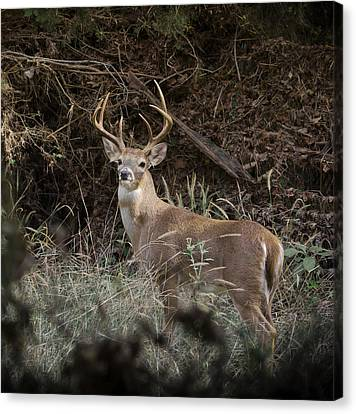 Big Buck Canvas Print by John Johnson