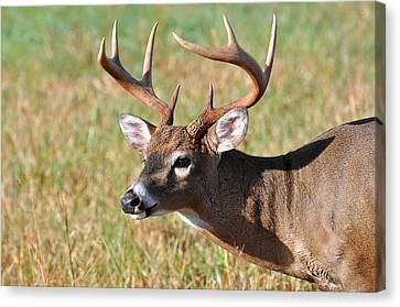 Big Buck Canvas Print by Todd Hostetter