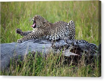 Cheetah Canvas Print - Big Cat by Alessandro Catta