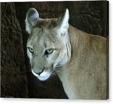 Canvas Print featuring the photograph Big Cat by Rhonda McDougall