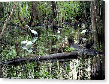 Big Cypress Canvas Print by Carey Chen