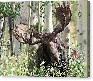 Big Daddy The Moose 3 Canvas Print