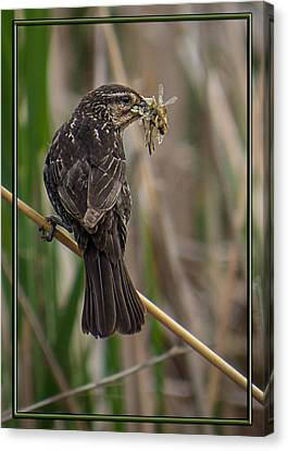 Canvas Print featuring the photograph Big Dinner For Female Red Winged Blackbird II by Patti Deters