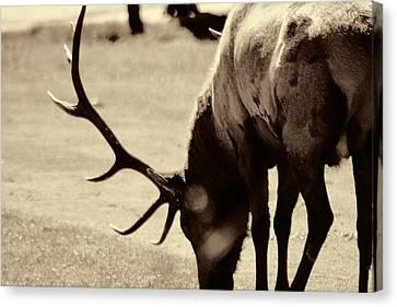 Big Elk In Sepia Canvas Print