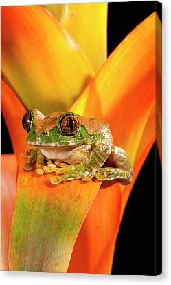 Anuran Canvas Print - Big Eye Treefrog, Leptopelis by David Northcott