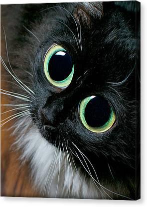 Big Eyed Cat Begging Portrait Canvas Print by Berkehaus Photography