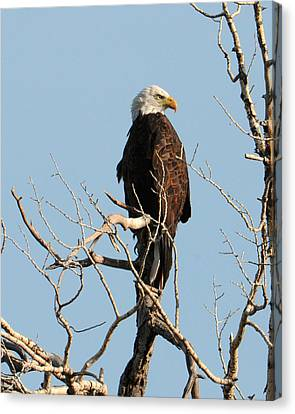 Big Horn Bald Eagle Canvas Print