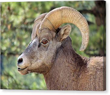 Canvas Print featuring the photograph Big Horn by Lynn Sprowl