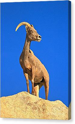Big Horn Pose Canvas Print by Adam Jewell