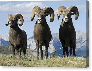 Big Horn Sheep Canvas Print by Bob Christopher