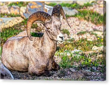 Big Horn Sheep Portrait Canvas Print