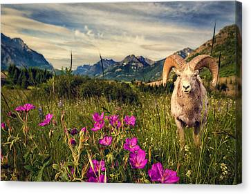 Tracy Munson Canvas Print - Big Horn Sheep by Tracy Munson