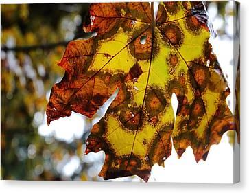 Maple Season Canvas Print - Big Leaf Maple by David Andersen