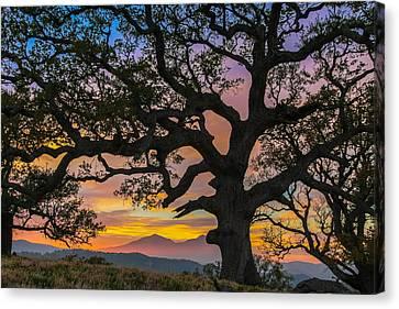 Big Oak Canvas Print by Marc Crumpler