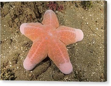 Big-plated Sea Star Canvas Print
