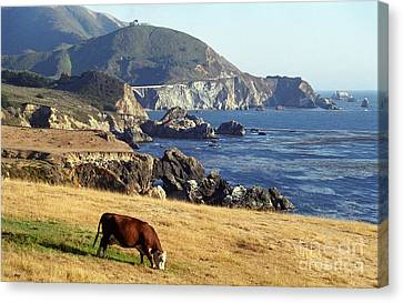 Big Sur Cow Canvas Print by James B Toy