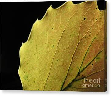 Big-tooth Aspen Leaf On Black Canvas Print by Anna Lisa Yoder