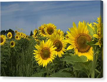 Big Yellow Sunflowers In A Michigan Field Canvas Print by Diane Lent