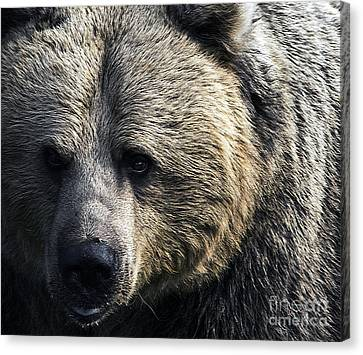 Bigger Than The Average Bear Canvas Print by Rick Bransby