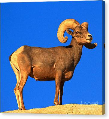 Bighorn Beauty Canvas Print by Adam Jewell