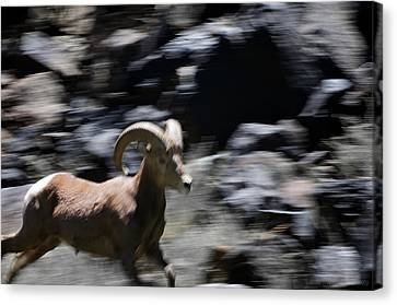 Bighorn Blur Canvas Print by Britt Runyon