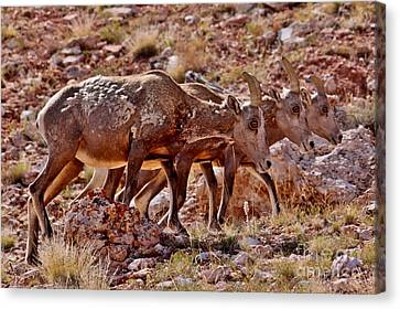 Canvas Print featuring the photograph Bighorn Canyon Sheep Trio by Janice Rae Pariza