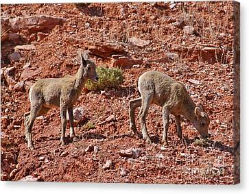 Canvas Print featuring the photograph Bighorn Canyon Sheep Wyoming by Janice Rae Pariza