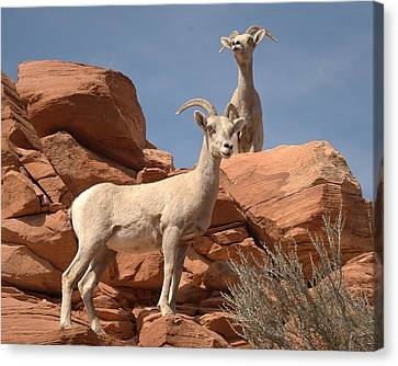 Bighorn Ewes Canvas Print by Jeff Cook