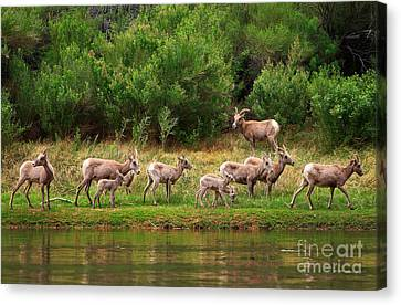 Bighorn Herd Canvas Print by Inge Johnsson