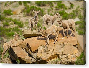 Canvas Print featuring the photograph Bighorn Playground by Aaron Whittemore