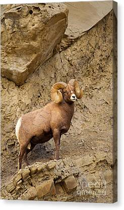 Canvas Print featuring the photograph Bighorn  by Aaron Whittemore