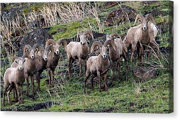 Bighorn Reunion Canvas Print by Steve McKinzie