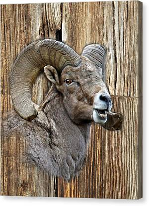 Bighorn Sheep Barnwood Canvas Print by Steve McKinzie