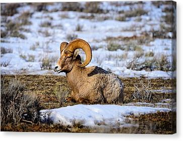 Canvas Print featuring the photograph Bighorn Sheep by Greg Norrell