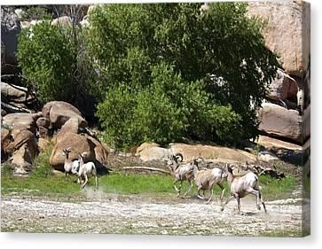 Bison Heard Canvas Print - Bighorn Sheep In A Run by Renee Sinatra