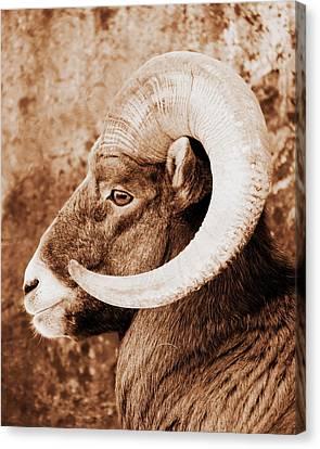 Bighorn Sheep Profile Canvas Print by Ramona Johnston