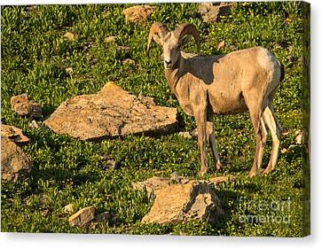 Bighorn Sheep Ram In Glacier 2 Canvas Print by Natural Focal Point Photography