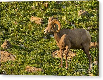 Bighorn Sheep Ram In Glacier 3 Canvas Print by Natural Focal Point Photography