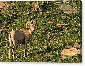 Bighorn Sheep Ram In Glacier 4 Canvas Print by Natural Focal Point Photography