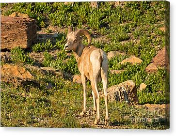 Bighorn Sheep Ram In Glacier Canvas Print by Natural Focal Point Photography