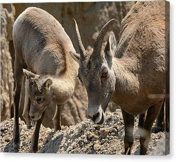 Bighorn Sheep Canvas Print by Robin Williams