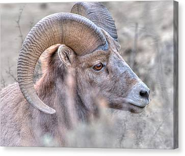 Bighorn Soft Canvas Print by Britt Runyon