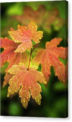 Maple Season Canvas Print - Bigleaf Maple Leaves Catch Raindrops by Robert L. Potts