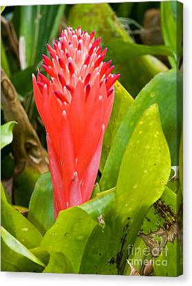 Billbergia Pyramidalis Canvas Print by Millard H. Sharp